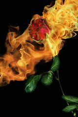 Feuerrose!