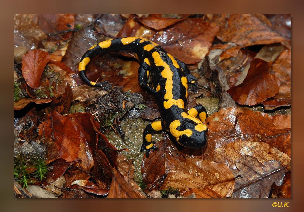 Feuersalamander (Salamandrs salamandra)