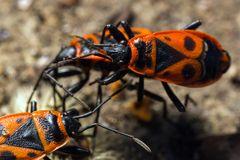 Feuerwanzen (Pyrrhocoridae)