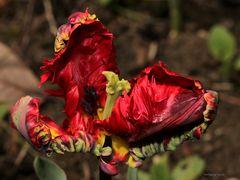 Feuerzauber einer Tulpenblüte