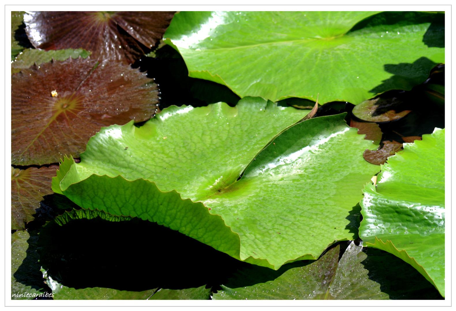 """""""feuilles de nénuphars"""""""