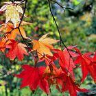 feuilles d'érable au soleil