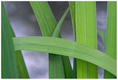 Feuilles d'Iris des marais