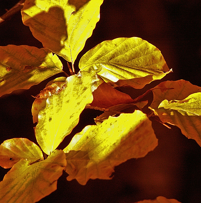feuilles dorée
