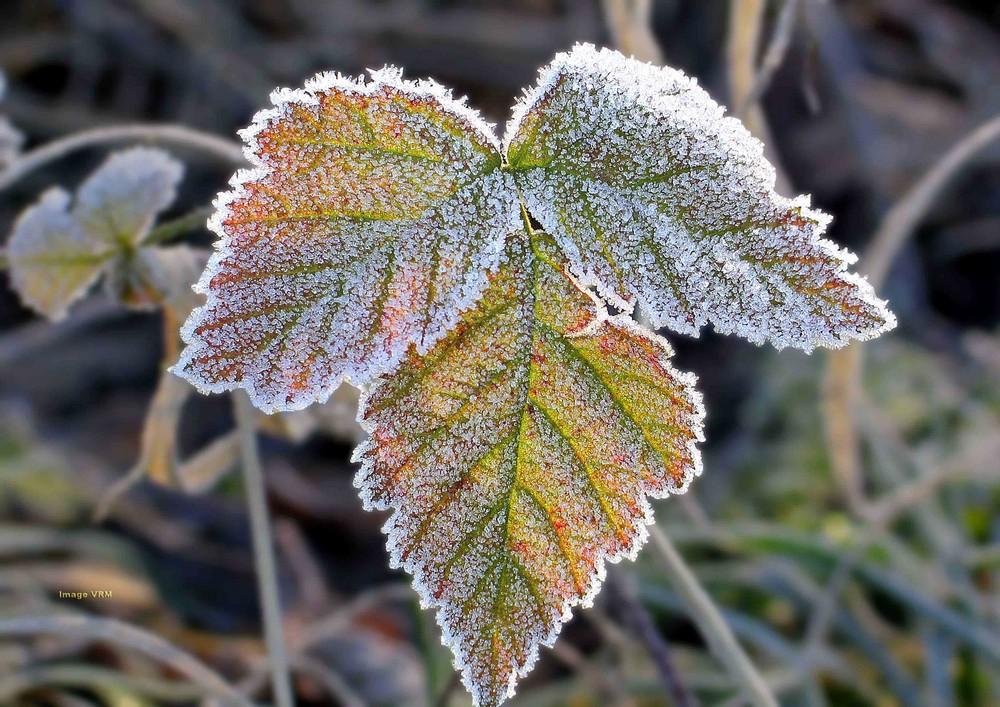feuilli invernal