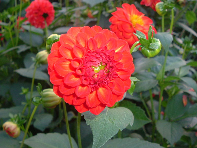 feurige Blume