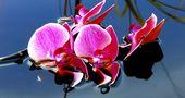 Orchideenrispe im Ölbad von neuroroeder6697