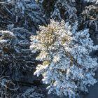 Fichte aus der Schneewolkensicht