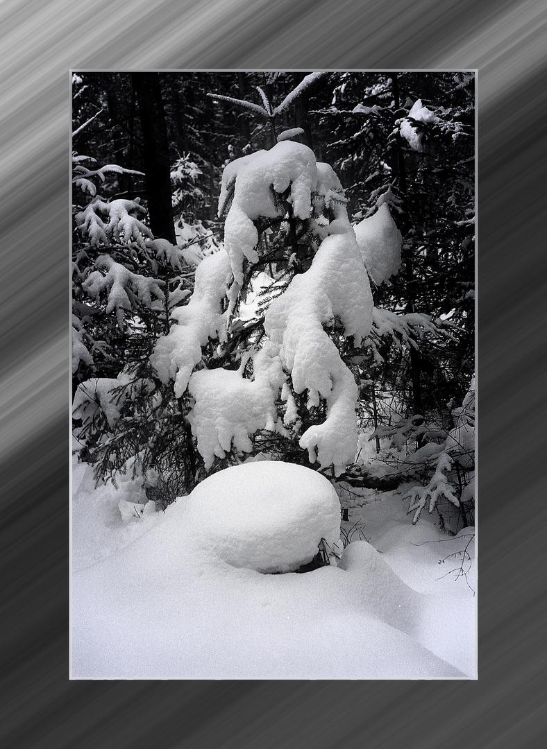 fichte im schnee