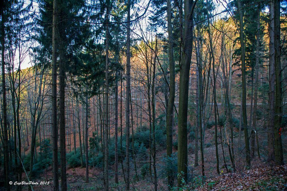 Fichtenwald an dem Jägerweg Kappelwindeck (bei Bühl Baden)