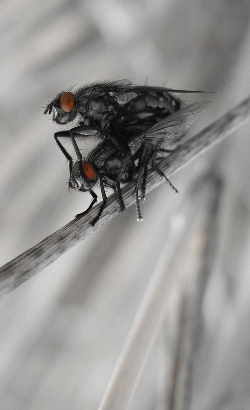 Fickende Fliegen