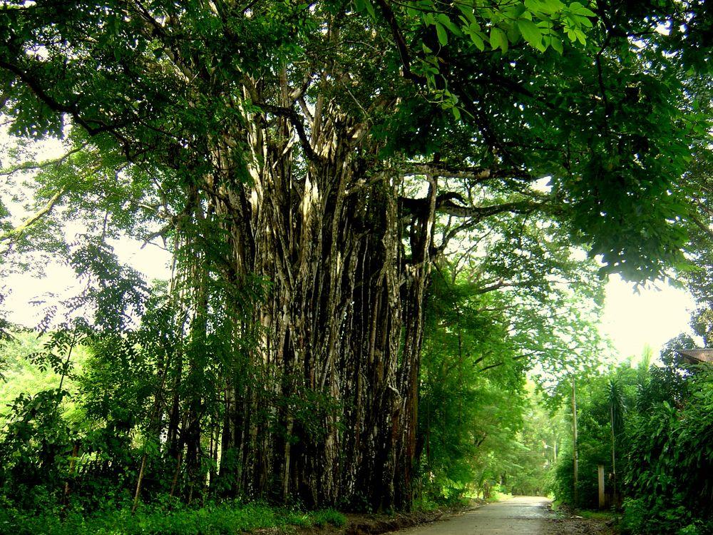 Ficus Benjamini der älteste in Costa Rica!