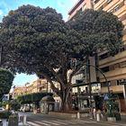 Ficus Monumental Siglo XIX