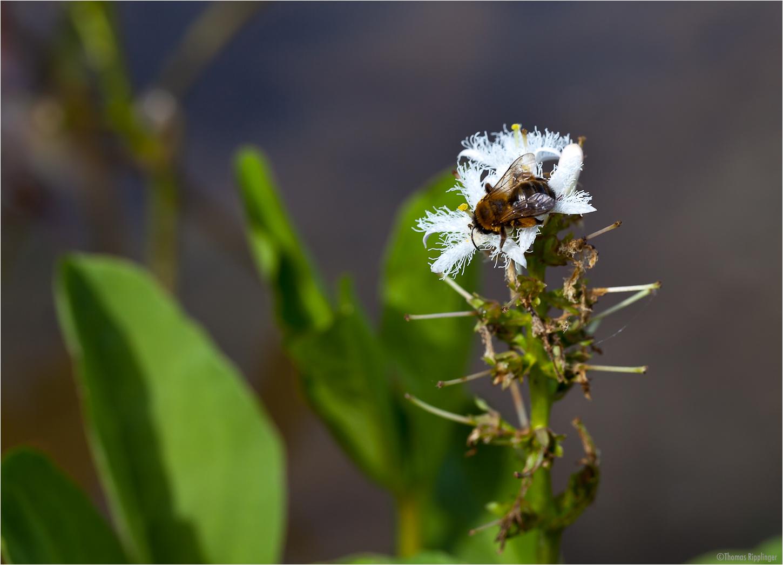 Fieberklee oder Bitterklee (Menyanthes trifoliata)