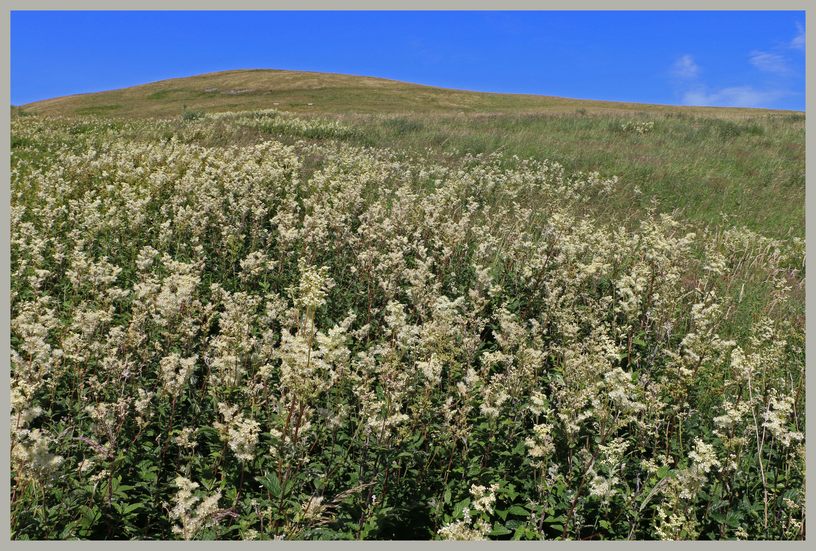 field of meadowsweet near barrowburn 4