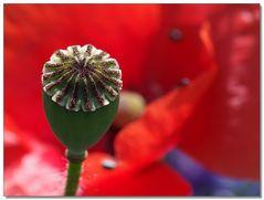 field-poppy-art