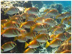 Fiele Fischi