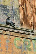 Fier comme... un pigeon?
