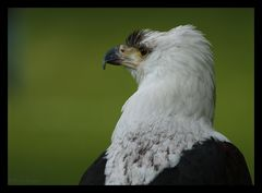 fier d'oiseau