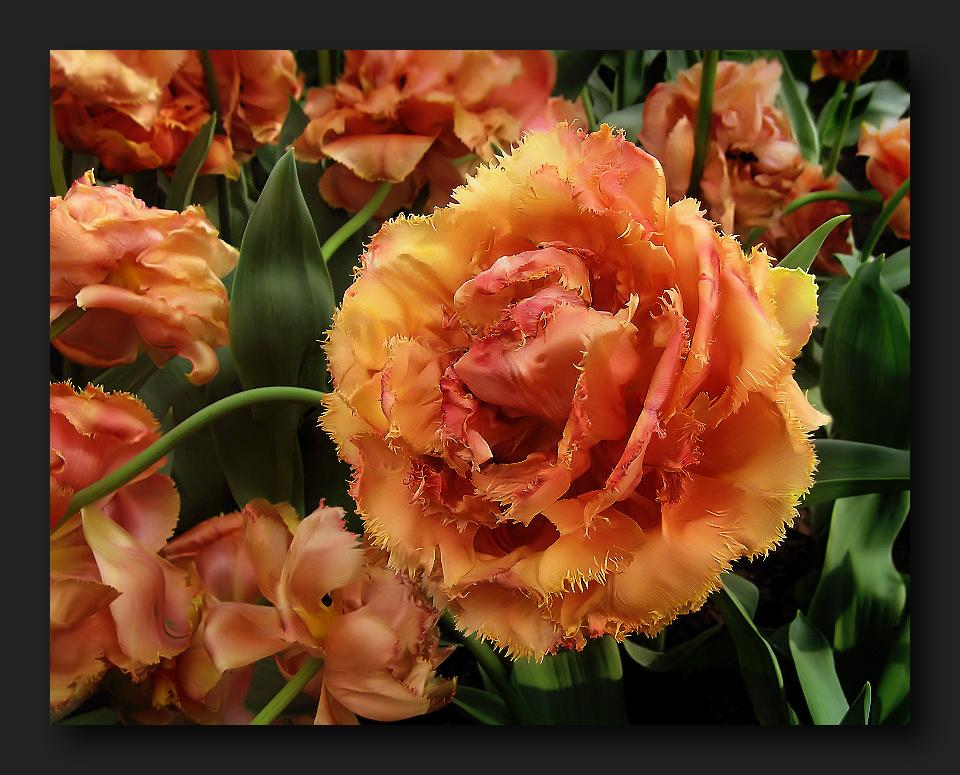 Fiery double tulip