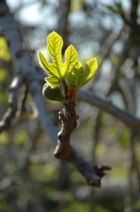 fige in spring Morocco