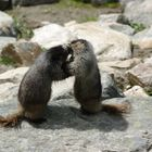 Fighting or loving Marmots ?