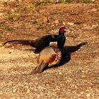 Fighting Pheasants 17 Apr. 2021 A h