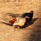 Fighting Pheasants 17 Apr. 2021 A i