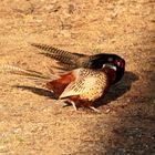 Fighting Pheasants 17 Apr. 2021 A l