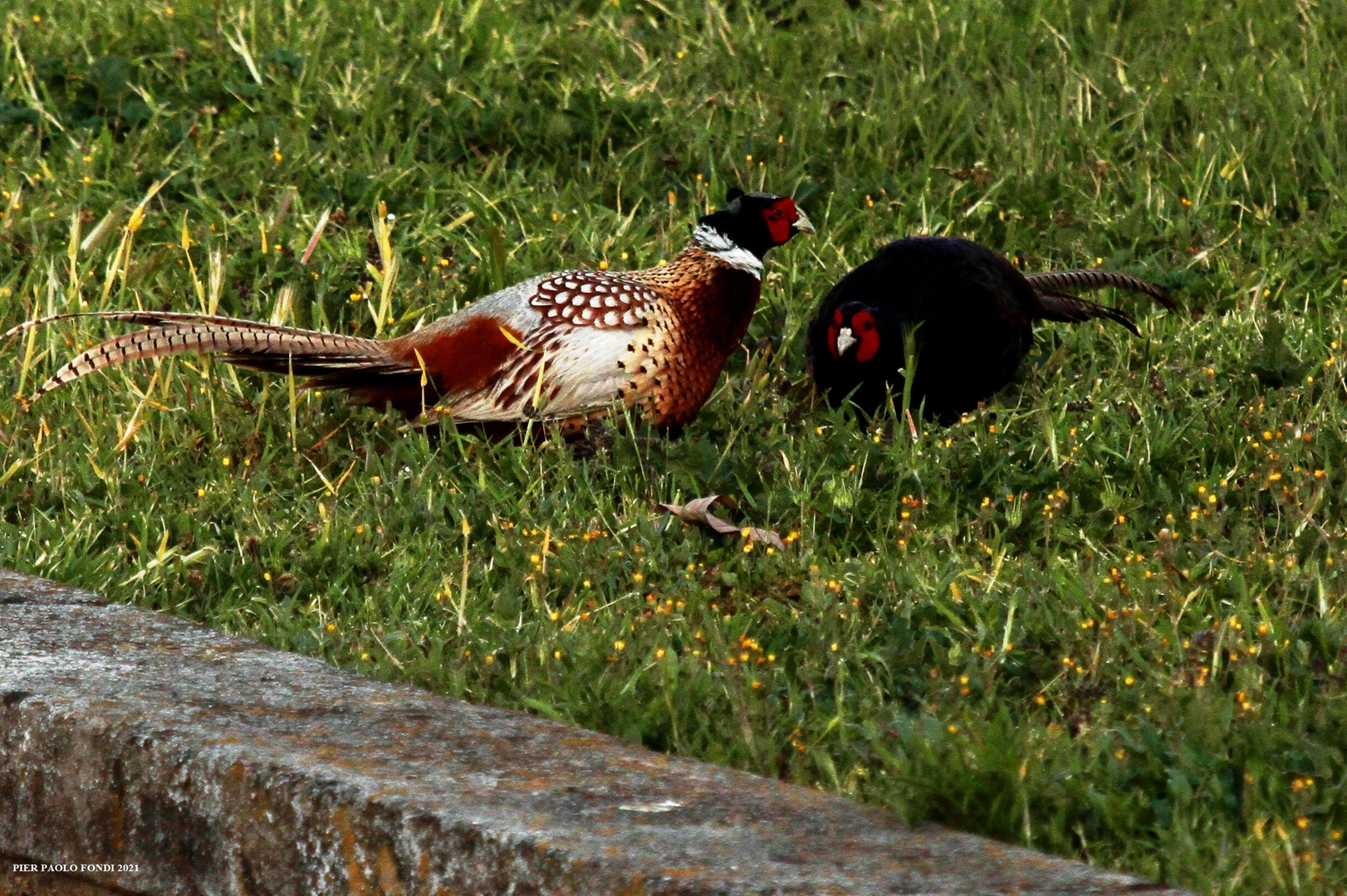 Fighting Pheasants 17 Apr. 2021 A o