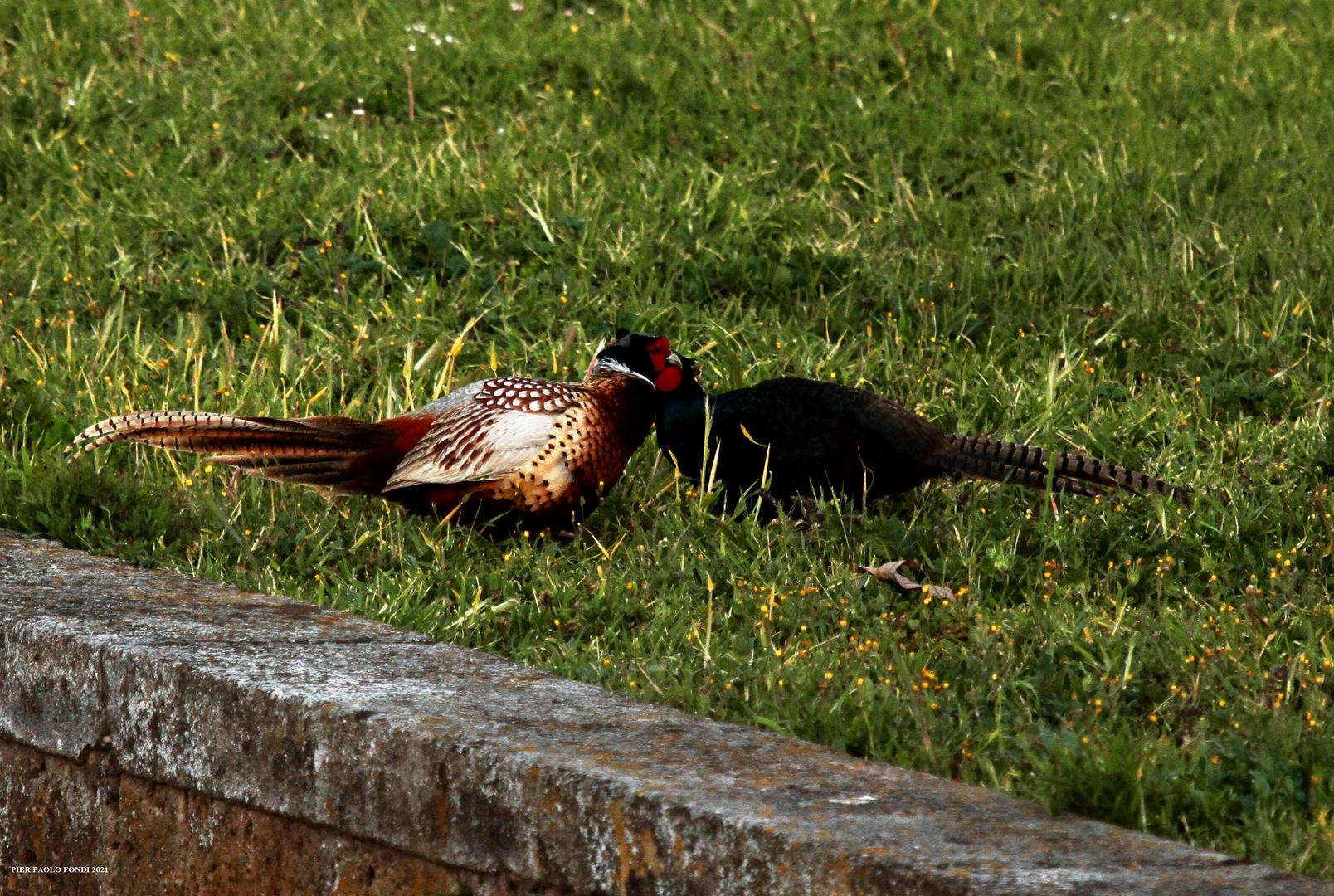 Fighting Pheasants 17 Apr. 2021 A p