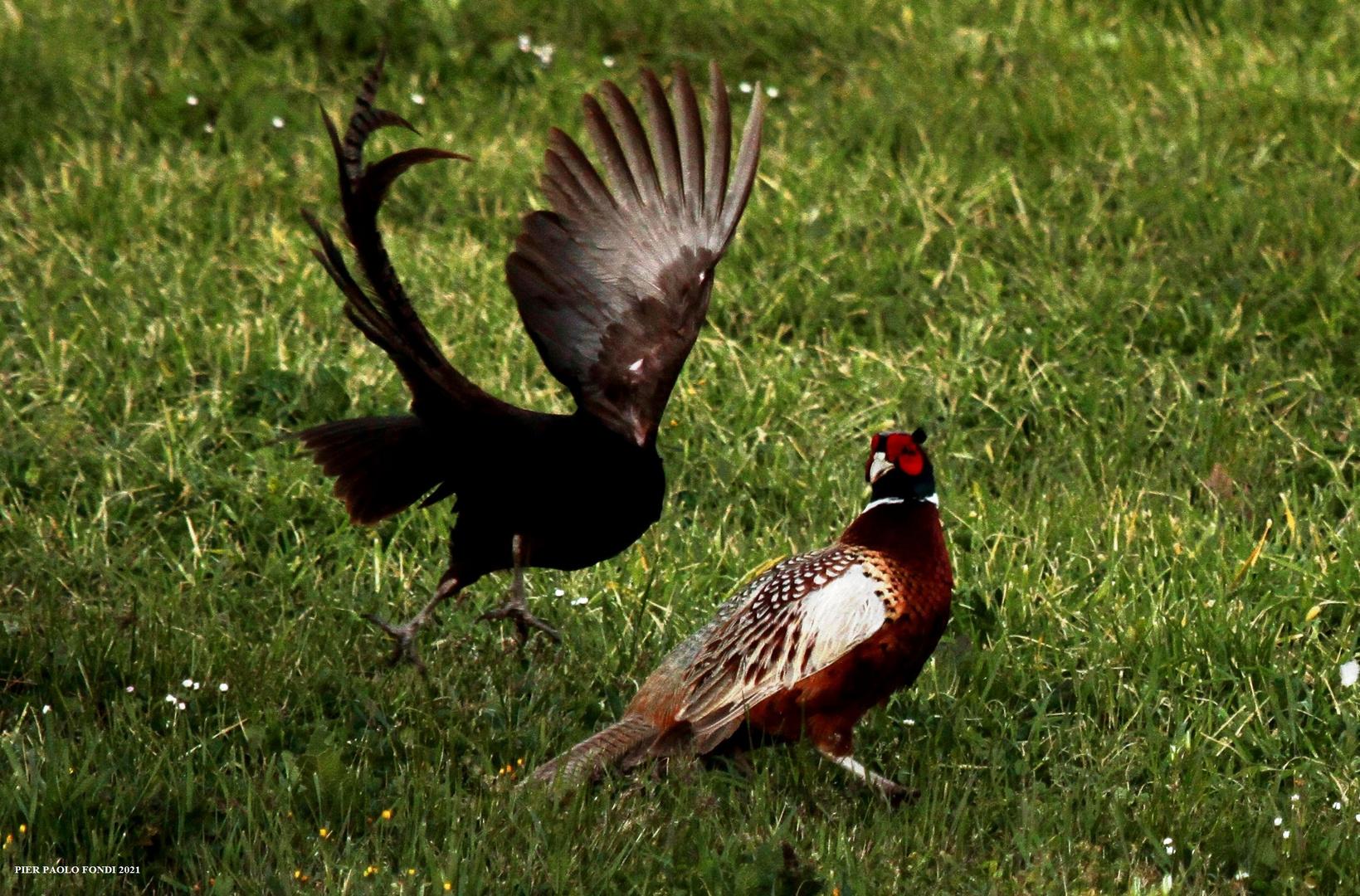 Fighting Pheasants 17 Apr. 2021 A q