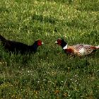 Fighting Pheasants 17 Apr. 2021 A t