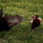 Fighting Pheasants 17 Apr. 2021 A ta