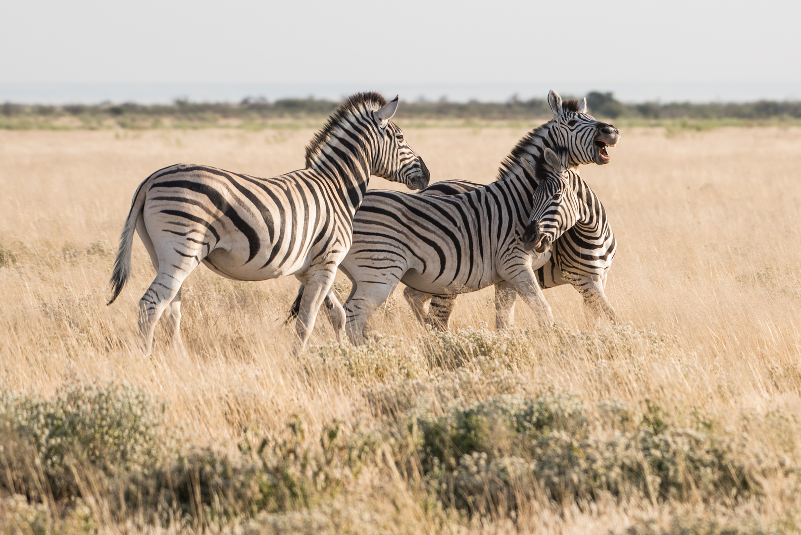 Fighting Zebras - Etosha