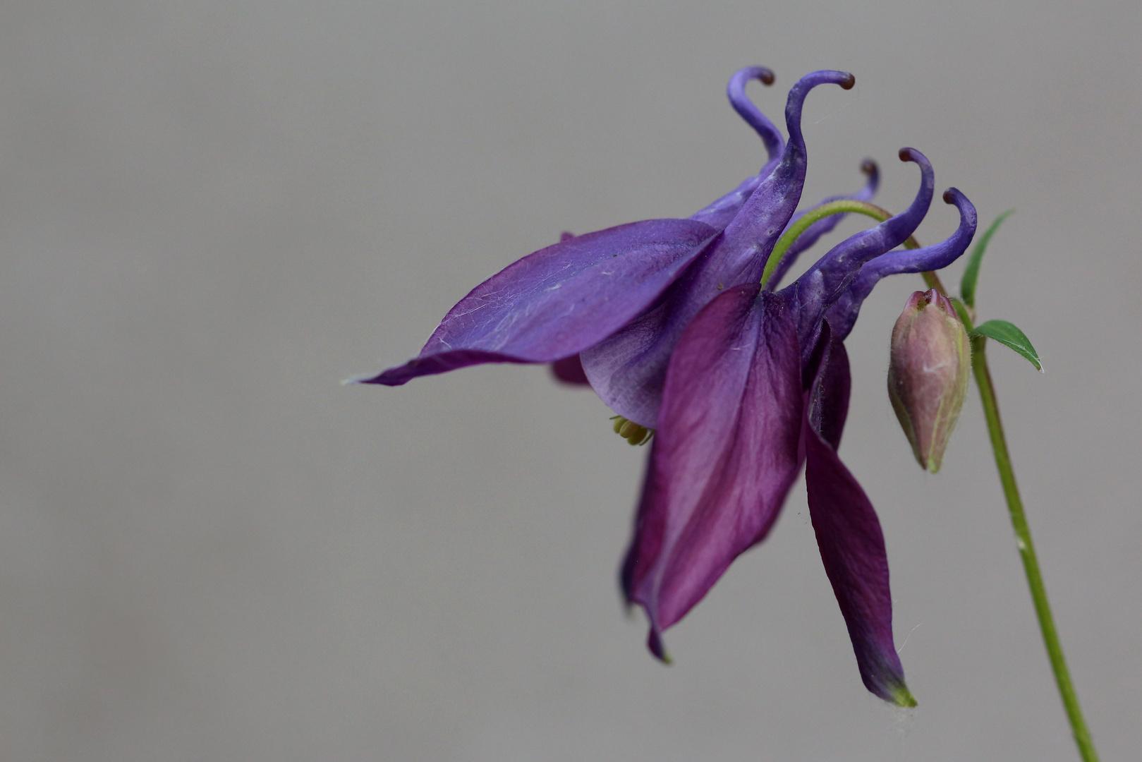 Filigrane Mittwochsblüte