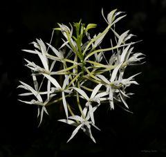 Filigrane Orchideen