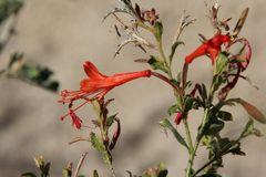"""Filigrane Schönheit: """"Hummingbird Trumpet"""" ( Epilobium canum ssp. canum)..."""