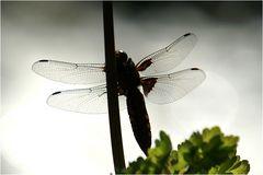 Filigranes oder meine erste Libelle