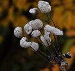 Filzige Herbst-Anemone