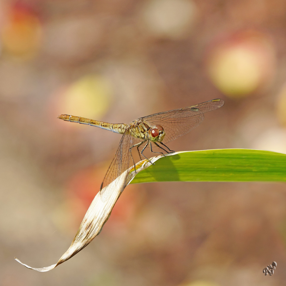 Fin de saison pour les libellules......