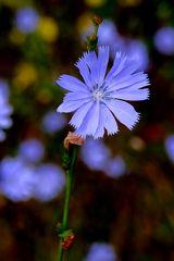 fine fleur bleue