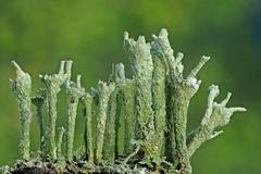 Finger-Becherflechte (Cladonia digitata)