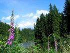 Fingerhut am Oberen Spiegelthaler Teich