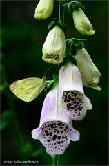Fingerhut mit Schmetterling