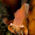fingerprint shrimp