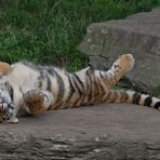 Finja, eine der jungen Tiger