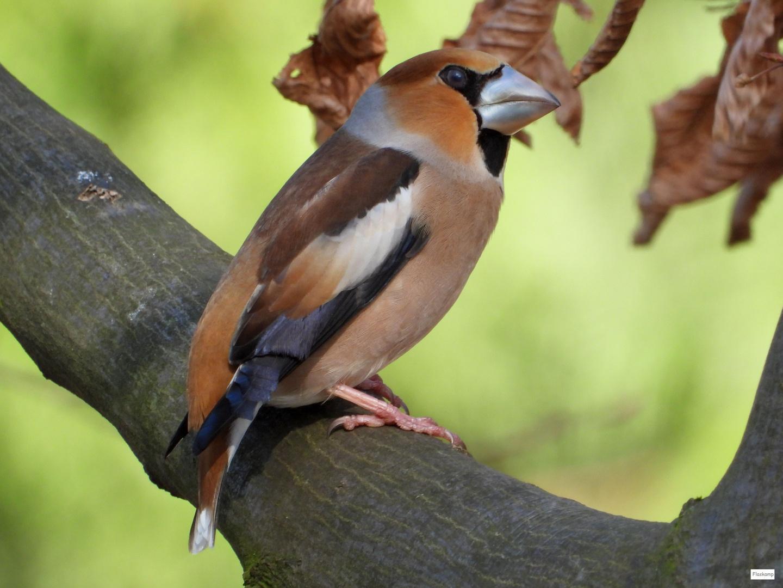 Finkenkönig im Geäst
