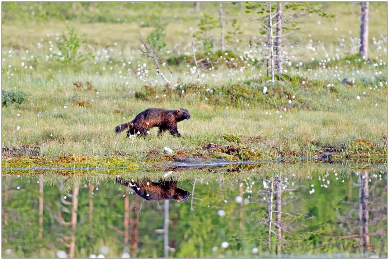 Finnland Bärenland [55] - Gespiegelter Vielfraß