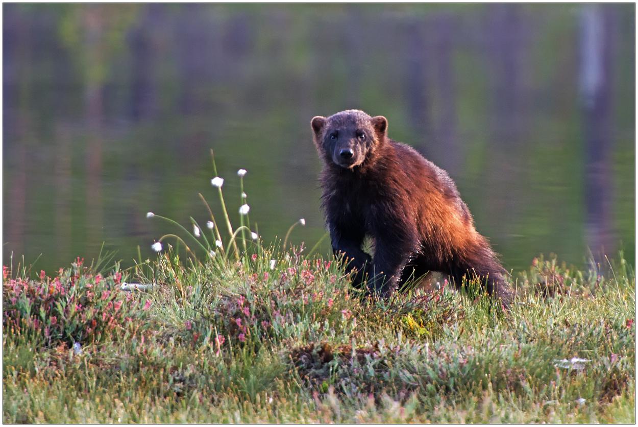 Finnland Bärenland [8] - Vielfraß
